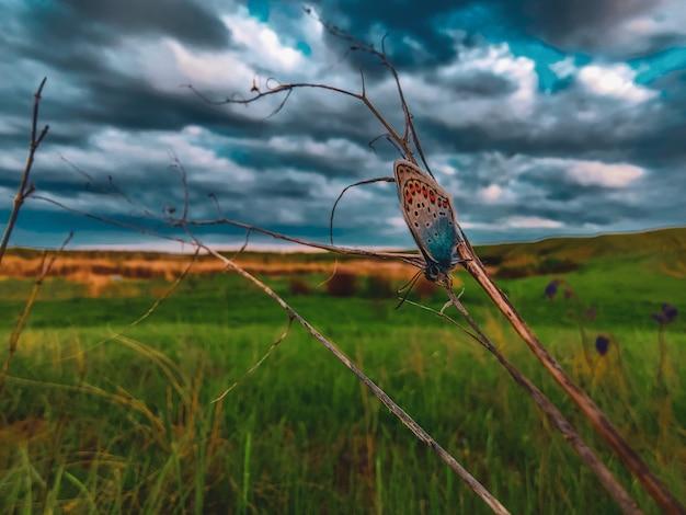 Motyl na trawie z dramatycznym niebem. makro motyl w przyrodzie