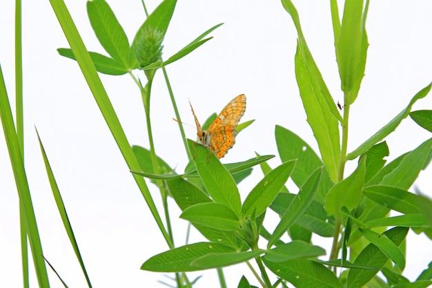 Motyl na zioła na białym tle