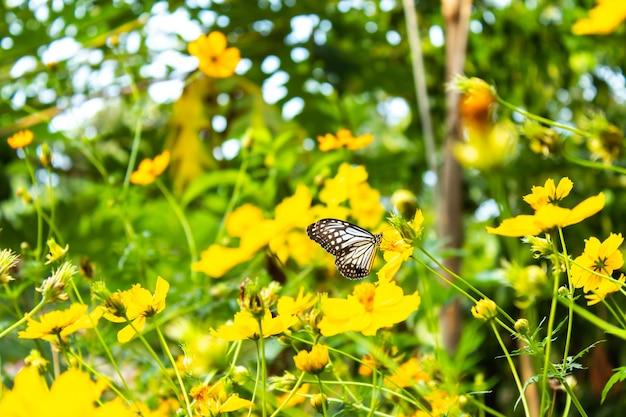 Motyl na żółtych kosmosu sulphureus cav kwitnie.