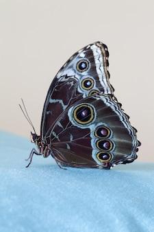 Motyl niebieski morpho siedzi na niebieskim aksamitnym płótnie, na beżowym tle. zbliżenie. fotografia makro.