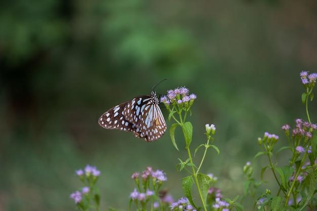 Motyl niebieski zauważył milkweed