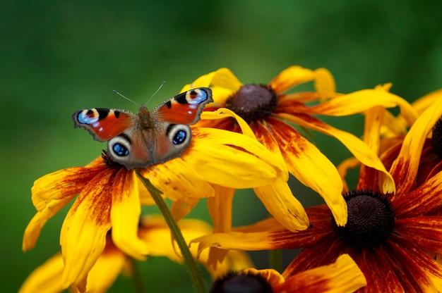 Motyl oko paw, siedząc na kwiat rudbeckie