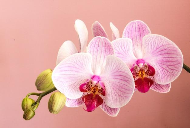 Motyl orchidea phalaenopsis w pełnym rozkwicie różowa orchidea na różowym tle zbliżenie kwiatów