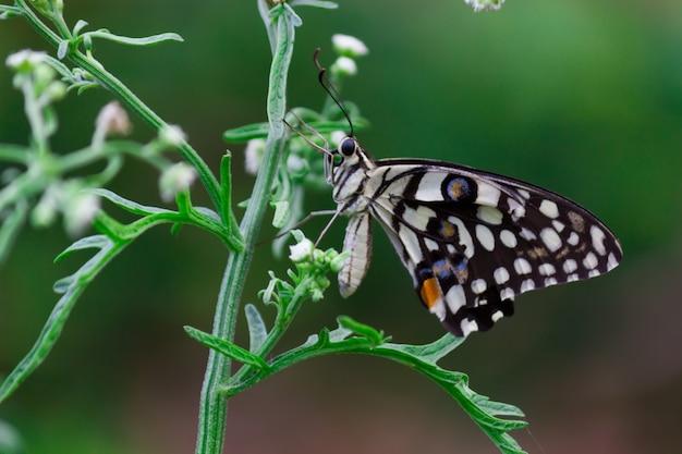 Motyl papilio demoleus lub motyl lipowy odpoczywający na świeżych zielonych roślinach wiosną
