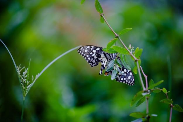 Motyl papilio lub motyl lipowy lub paź w kratkę spoczywający na roślinach kwiatowych