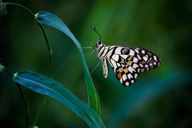Motyl papilio lub motyl lipowy odpoczywający na roślinach kwiatowych w swoim naturalnym środowisku