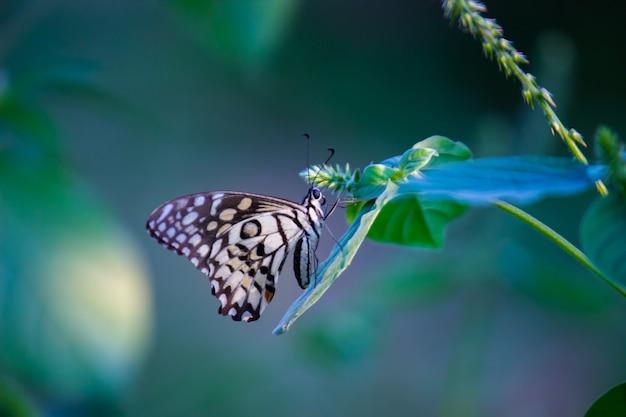 Motyl papilio lub motyl lipowy odpoczywający na roślinach kwiatowych