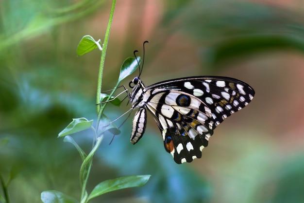 Motyl papilio lub motyl lipowy siedzący na liściach rośliny