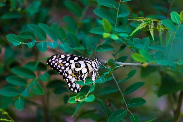 Motyl papilio lub motyl lipowy siedzący na roślinach kwiatowych w swoim naturalnym środowisku