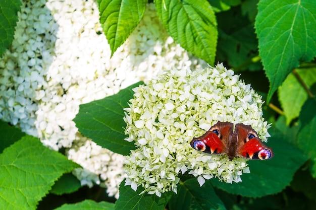 Motyl peacock eye na białych kwiatach