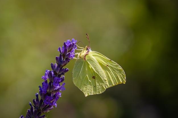 Motyl pospolity siarki na lawendzie