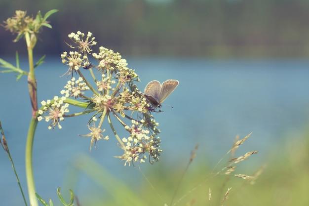 Motyl przykucnął na baldaszkowatym kwiatostanie, tonizując w stylu vintage