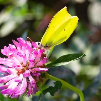 Motyl siarczka zwyczajna gonepteryx rhamni żeruje na kwiat koniczyny. motyl z żółtymi skrzydłami