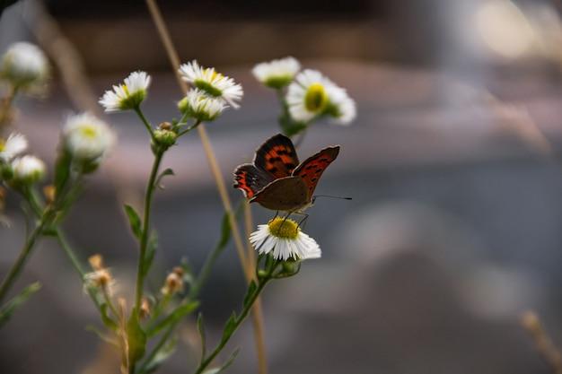 Motyl siedzi na kwiat rumianku na zielonej łące.