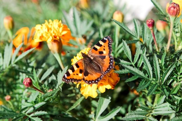 Motyl siedzi na kwiatach nagietka.