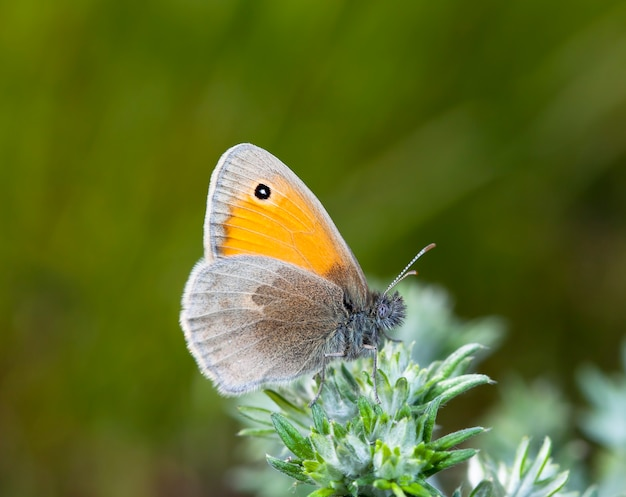 Motyl z coenonympha, zdjęcie jest wykonane na polu w rodzimym środowisku.