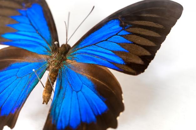 Motyl z niebieskim kolorem skrzydła