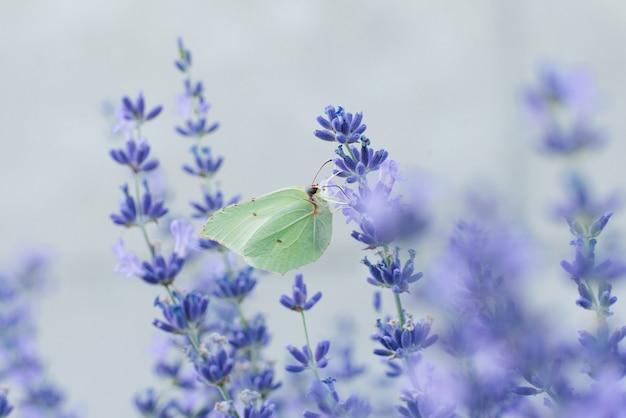 Motyl z trawy cytrynowej siedzi na kwiatku lawendy i pije nektar
