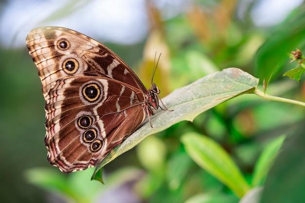 Motyl z zamkniętymi skrzydłami umieszczającymi na liściu