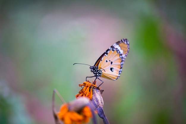 Motyl zwykły tygrys