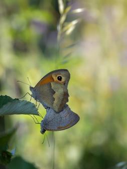Motyle kopulujące w ich naturalnym środowisku.