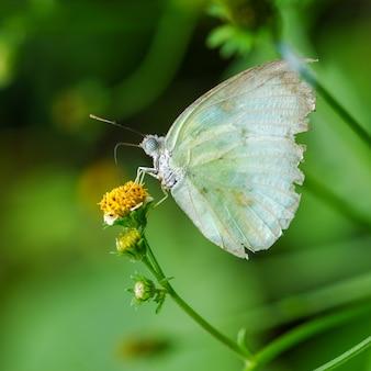 Motyle wysysają słodycze z guzików płaszcza, meksykańska stokrotka to piękne kwiaty kwitną jasnożółtym.