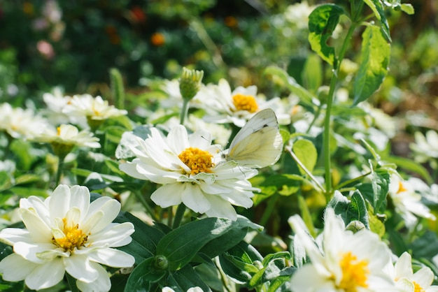 Motyli kapuściany motyl siedzi na białych kwiatów zinnias. letni słoneczny dzień w przyrodzie