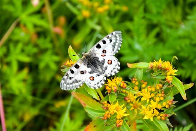 Motyli parnassius nomion obsiadanie na trawie.