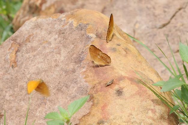 Motylia łasowanie sól na ziemi przy ssanie w żołądku sida parkiem narodowym, tajlandia