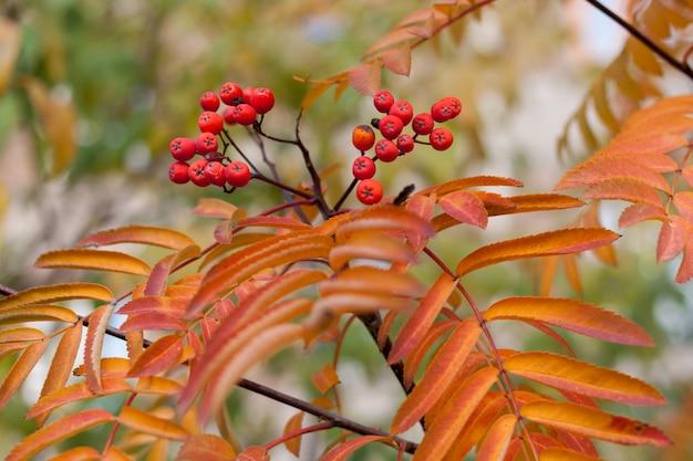 Motyw jesienny z jarzębinowymi liśćmi i jagodami.
