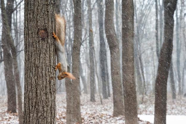 Motyw zwierzęcy wiewiórka rozciąga się na drzewie w zimowym lesie