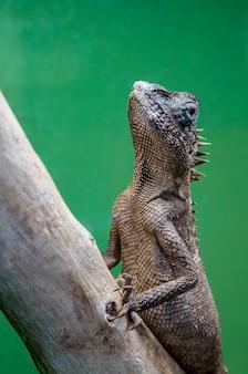 Mountain horn lizard, acanthosaura capra na gałęzi drzewa.