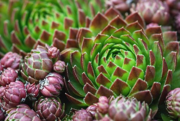 Mountain houseleek zielone i brązowoczerwone duże i małe rozety zbliżenie