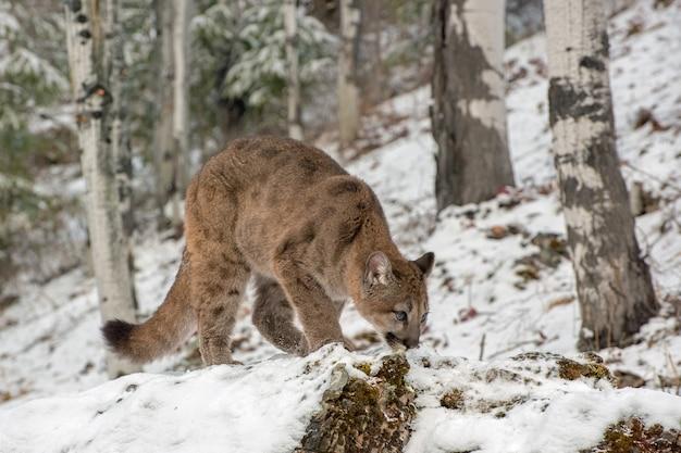 Mountain lion cub przykucnął w śniegu, patrząc w górę