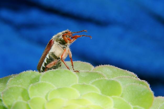 Może chrząszcz