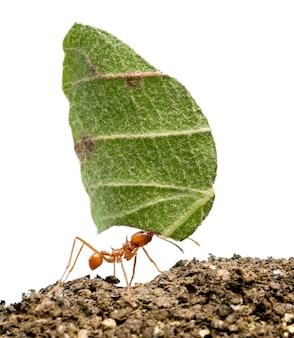 Mrówka do liści, acromyrmex octospinosus, niosąc biały liść jonowy na białym tle