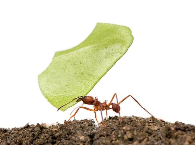 Mrówka do liści, acromyrmex octospinosus, niosąc liść na białym tle
