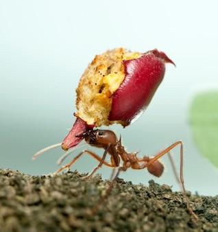 Mrówka do liści, acromyrmex octospinosus, niosąca zjedzone jabłko