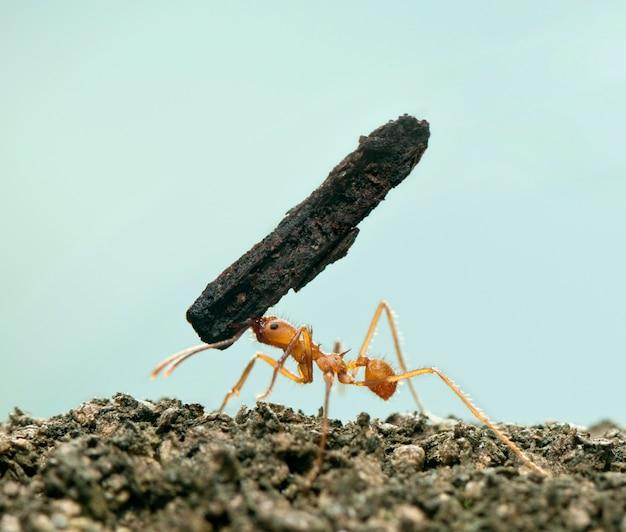 Mrówka do liści, acromyrmex octospinosus, niosący kora na niebiesko na białym tle