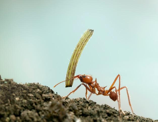 Mrówka do liści, acromyrmex octospinosus, niosący roślinę na niebiesko na białym tle