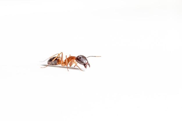 Mrówka na białym