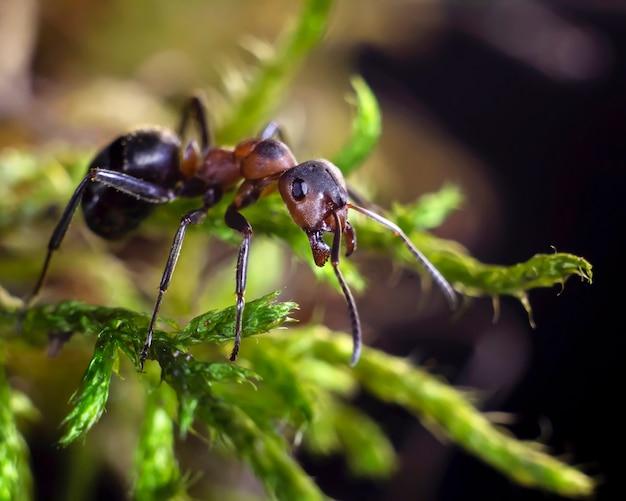 Mrówka na zielonej trawie. fotografia makro, wybrana ostrość.