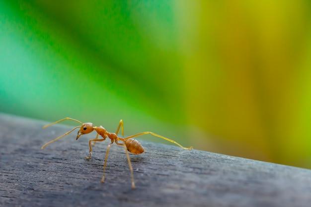 Mrówka stojący na drewnianej podłodze