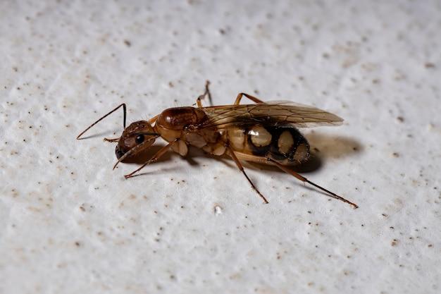 Mrówka stolarska z gatunku camponotus substutus