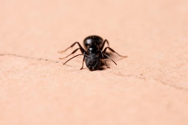 Mrówka stolarska z rodzaju camponotus