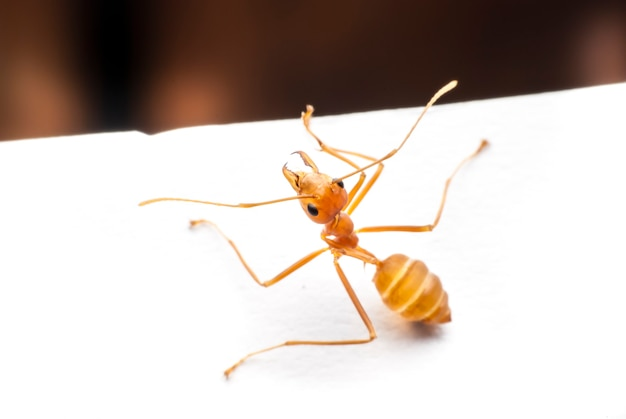 Mrówka z bliska.