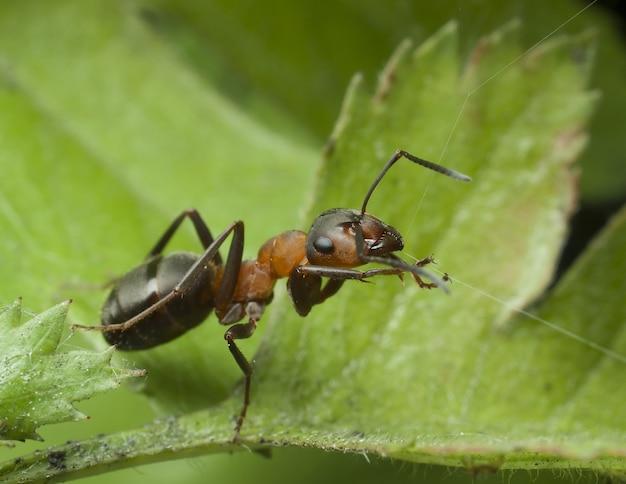 Mrówka