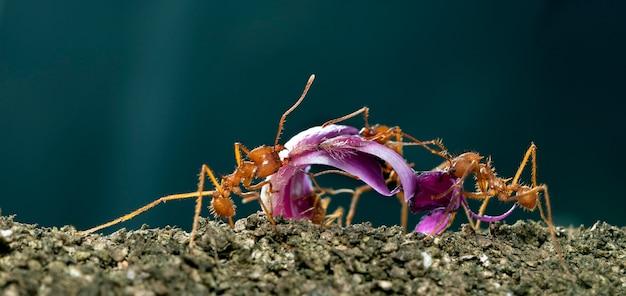 Mrówki do cięcia liści, acromyrmex octospinosus, niosące płatek kwiatu