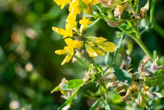Mrówki na polnych kwiatach, na zielonym tle. zdjęcie wysokiej jakości