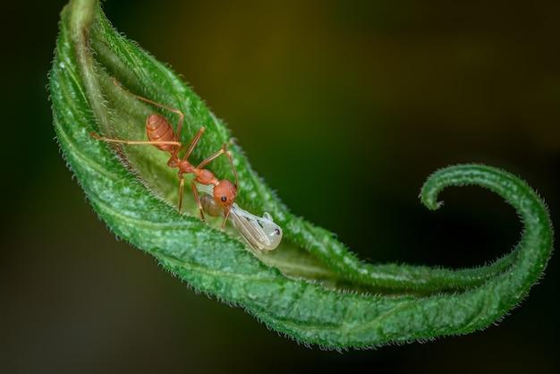 Mrówki niosą białe larwy